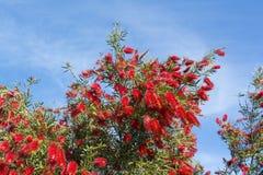 Callistemon Citrinus Flowering Shrub - Top Half - Crimson Red Bo Royalty Free Stock Photos