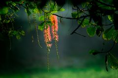 Callistemon Citrinus Kwiat Obraz Stock