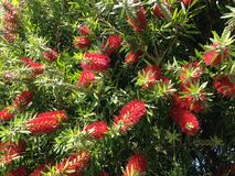 Callistemon Citrinus Plant Blossoming in South Daytona Royalty Free Stock Photography