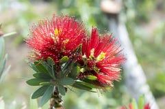 Callistemon citrinus pospolita czerwień, karmazyn w kwiacie przeciw niebieskiemu niebu zdjęcia royalty free