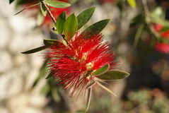 Callistemon citrinus Royalty Free Stock Images