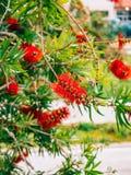 Callistemon da flor em Montenegro Olhar vermelho das flores como uma escova Fotos de Stock