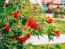 Callistemon de la flor en Montenegro Parecer rojo de las flores un cepillo Foto de archivo libre de regalías