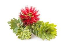 Free Callistemon Flower Stock Image - 27427461