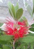 Callistemon. The flower of an Australian Callistemon plant Stock Photos