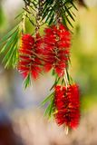 Callistemon flower. Callistemon family Myrtaceae, widely cultivated in many other regions and naturalized in scattered locations Stock Photo