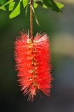 Callistemon flower Royalty Free Stock Photography