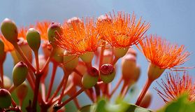 Red Calistemon Flower. Callistemon is a genus of shrubs in the family Myrtaceae, first described as a genus in 1814. The entire genus is endemic to Australia but Royalty Free Stock Image