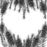 Callistemon. Heart shape. Hand drawn stock photography