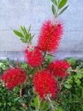 Callistemon kwiaty Obrazy Royalty Free