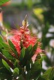 Callistemon o fiore della spazzola di bottiglia Primo piano del fiore aghiforme rosso sull'arbusto verde in molla annuale immagine stock