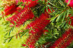 Callistemon Stock Images
