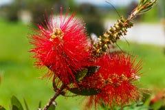 Callistemon. Red flower like a brush Stock Photography
