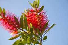 Callistemon. With red flowers and green leaves Stock Image