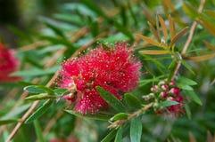 Callistemon Rigidus o Bottlebrush rojo foto de archivo
