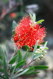 Callistemon rigidus R. Br. Royalty Free Stock Photos