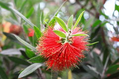 Callistemon rigidus R. Br. Royalty Free Stock Images