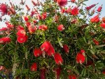 Callistemon roślina w kwiacie zdjęcie royalty free
