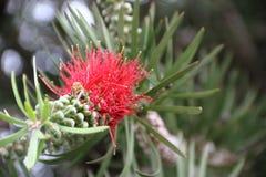 Callistemon rojo floreció en primavera Foto de archivo libre de regalías