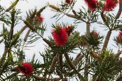 Callistemon rojo floreció en primavera Foto de archivo