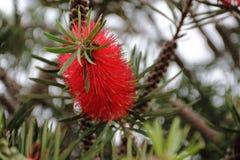 Callistemon rojo floreció en primavera Fotografía de archivo