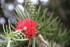 Callistemon rojo floreció en primavera Imagenes de archivo