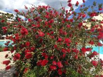 Callistemon-shrubs with red flowers Stock Photography