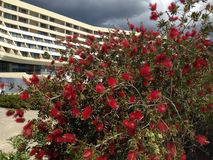 Callistemon-shrubs with red flowers Royalty Free Stock Photography