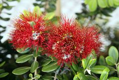 Callistemon subulatus flowers Royalty Free Stock Photos
