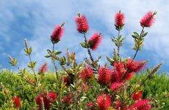 Callistemon vimidinalis, en dekorativ buske i familjen Myrtac Royaltyfria Foton
