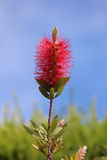 Callistemon vimidinalis, a ornamental shrub in the family Myrtac Stock Photo
