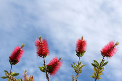 Callistemon vimidinalis, a ornamental shrub in the family Myrtac Stock Photography