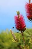 Callistemon vimidinalis, a ornamental shrub in the family Myrtac Royalty Free Stock Photography