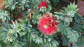 Callistemon viminalis Little John Royalty Free Stock Images