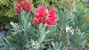 Callistemon viminalis Little John Stock Image