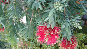 Callistemon viminalis Little John Royalty Free Stock Photo