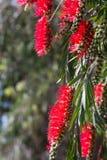 Callistemon viminalis. ( Melaleuca viminalis) plant  in spring Royalty Free Stock Image