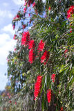 Callistemon viminalis   in spring Royalty Free Stock Image