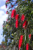 Callistemon viminalis (Weeping Bottlebrush) in spring Royalty Free Stock Photos
