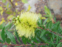 Callistemon wilderness. Light green blossom of callistemon wilderness Stock Photo