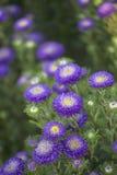 Callistephus - Bonita Royalty-vrije Stock Foto