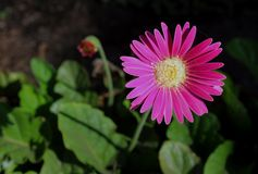 Callistephus chinensis, Africa Daisy royalty free stock photography