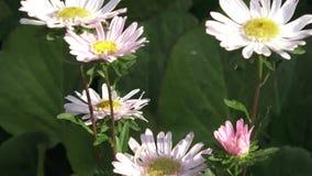 Callistephus chinensis Asterblumen schließen oben stock footage