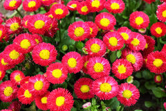 Callistephus chinensis bloom Stock Photo