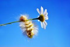 Calliteara pudibunda pale tussock or meriansborstel yellow fluffy caterpillar funny hanging on daisy stem, blue sky background. Close up macro detail stock photography