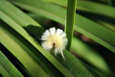 Calliteara pudibunda pale tussock or meriansborstel yellow fluffy caterpillar laying on long green leaves background, close up. Macro detail stock photos