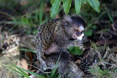 Callithrix jacchus. Baby marmoset as white tufts eating popcorn Royalty Free Stock Photography