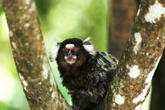 Callithrix jacchus the branch. Baby marmoset as white tufts eating popcorn Royalty Free Stock Photo