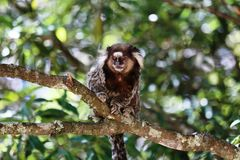 Callithrix jacchus. Primate popularly known in Brazil with marmoset white tufts Stock Photos