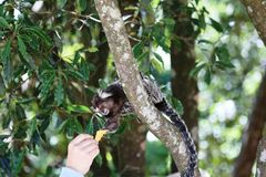 Callithrix jacchus taking food into the hands of a child. Primate popularly known in Brazil with marmoset white tufts Royalty Free Stock Images
